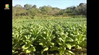 Samba Of Shamba: Genetically Modified Crops