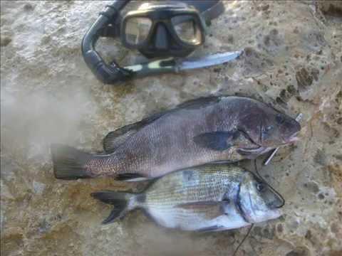 pesca sargo y corvina