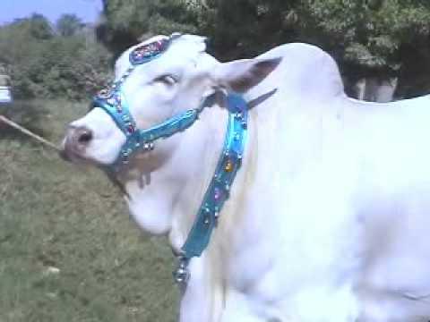 White Cows for Eid Ul Azha (Bakra Eid) 2008