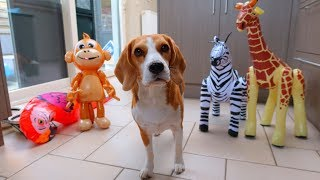 My Dog HATES Inflatable Animals : Funny Dog Marie the Beagle