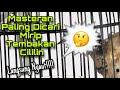 Masteran Paling Dicari Mirip Tembakan Rapat Cililin Ngerol Panjang Manuk Gacor Channel  Mp3 - Mp4 Download