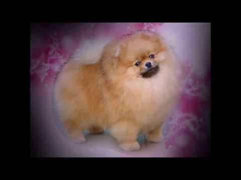 cachorro-lulu-da-pomerânia-(spitz-alemão-anão)animais-brasil-online