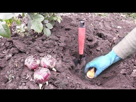 Как сажать тюльпаны осенью