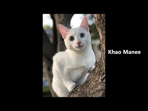 All Cat Breeds in Alphabetical Order