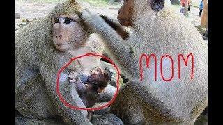 Very Wonder!!! Why Brutus Jr Back to Sucking Milk from Dana, Why not mom?