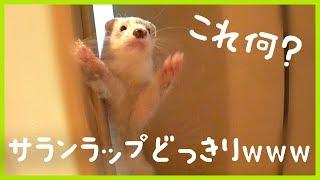 ferret runs into cling film. 巷で話題?流行のドッキリをフェレットに...