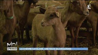 La chèvre catalane, une race sauvegardée