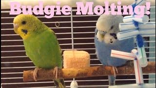 Budgie Molting!