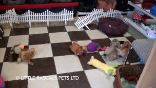 Little Rascals Uk Breeders New Litter Of Pug X French Bulldog - Puppies For Sale UK