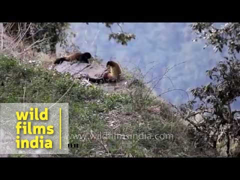 Tutrali in Landour, the forested hilltop above Mussoorie : wilderness imagery