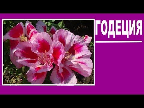 Годеция Красивые цветы для сада Однолетники
