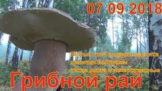 Грибной рай 07 09 2018 Белый гриб рыжики маслята лисички волнушки тихая охота и лекарственные травы