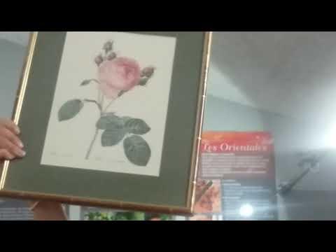 Rose essence 6