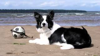 Border Collie Puppies Collection Of Pictures | Border Collie Puppies