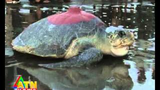 wildlife news of Sonadia Dwip, cocxbazar, Bangladesh - Sea Turtle