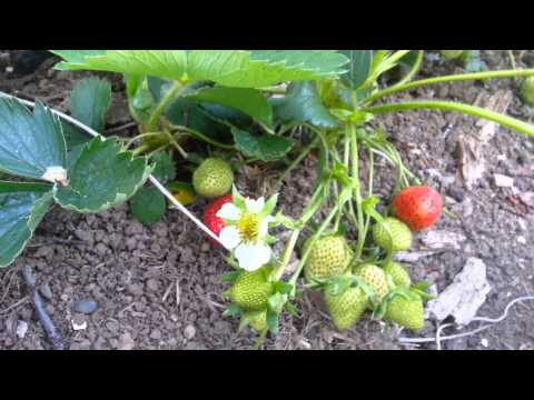 Growing Organic strawberry on back yard Seattle WA.