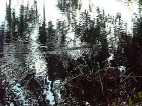 Alligator Swimming in Lake Alice, Gainesville, Florida