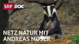 Der Dachs – das heimlichste Wildtier der Schweiz   NETZ NATUR mit Andreas Moser   Doku   SRF DOK