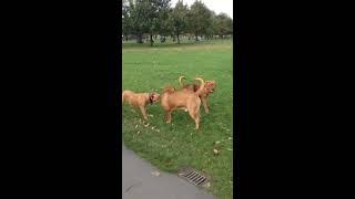 Dogue De Bordeaux Fight