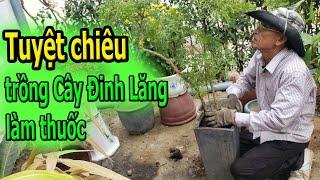 Tuyệt chiêu trồng Cây Đinh Lăng làm thuốc 😙Thuy Lien Vlog