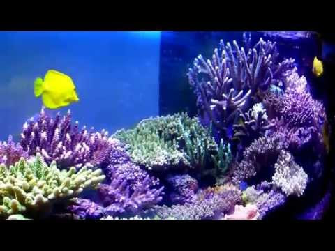 Bluecheek Butterfly Fish In My Reef Aquarium