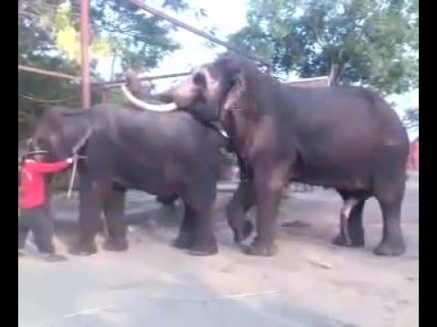Mating of Elephants   Assisted Mating   Elephant Shelter in Thailand