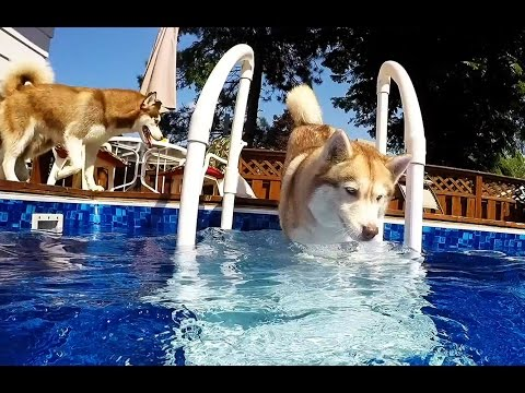 3 Huskies and a Pool