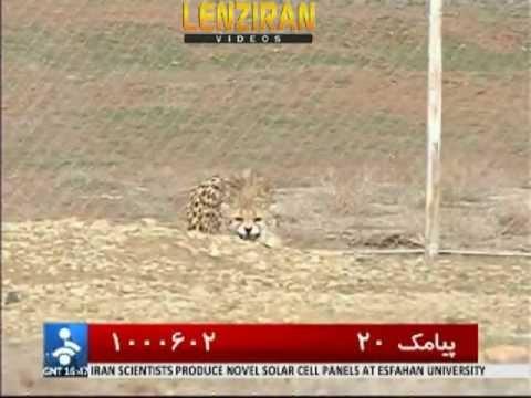 Ambigious International project of saving Asian Cheeta in Iran