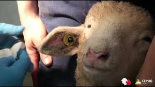 Capsule Tatouage des moutons SCEM-CEPOQ 2016
