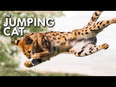 Serval: The Jumping Cat