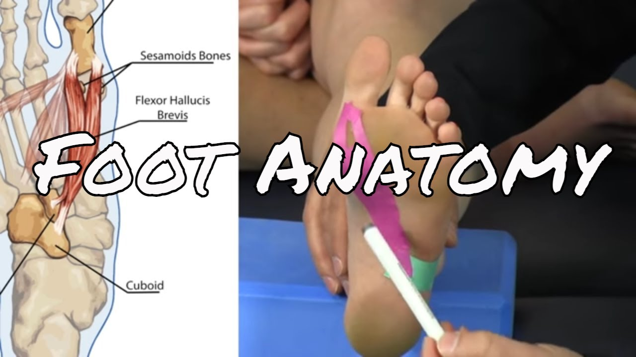 Anatomy Of The Foot Dorsi Plantar Aspects 11 Muscles Youtube