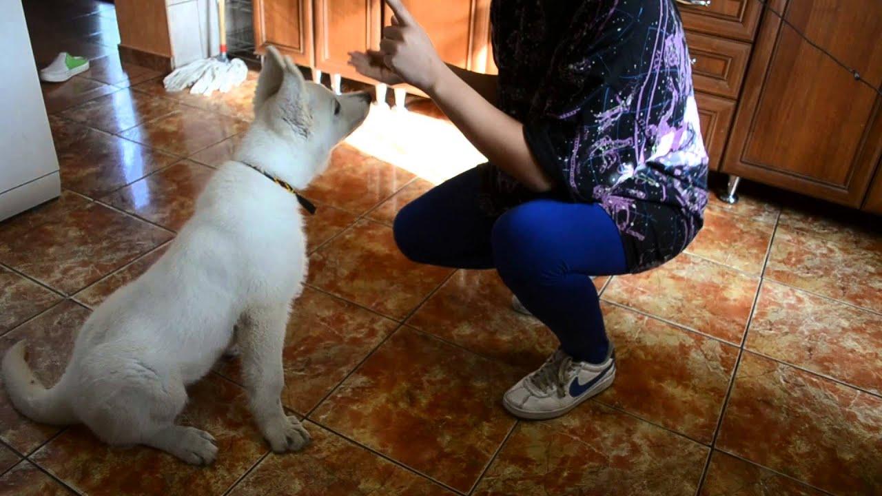 Ogromny Biały Owczarek Szwajcarski: - Harpun. - YouTube MU56
