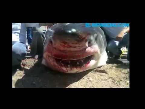 el tiburon mas grande q atrapan en acapulco
