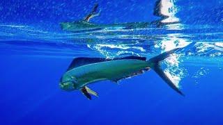 Sunrise Mahi Mahi | kayak fishing Hawaii | Flying Fish TV