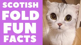 Scotish Fold Cats 101 : Fun Facts