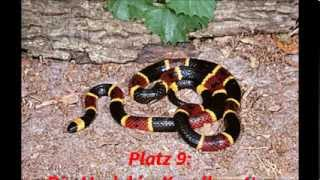 Top 10 der giftigsten Schlangen der Welt