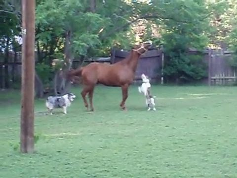 Pitbull vs horse. Pitbull and ponies. Pitbull plays with a horse and pony