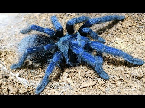Pterinopelma sazimai. Синий паук птицеед и его кокон