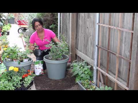 How to Fertilize Blueberries With Tomato Plant Food : The Chef's Garden