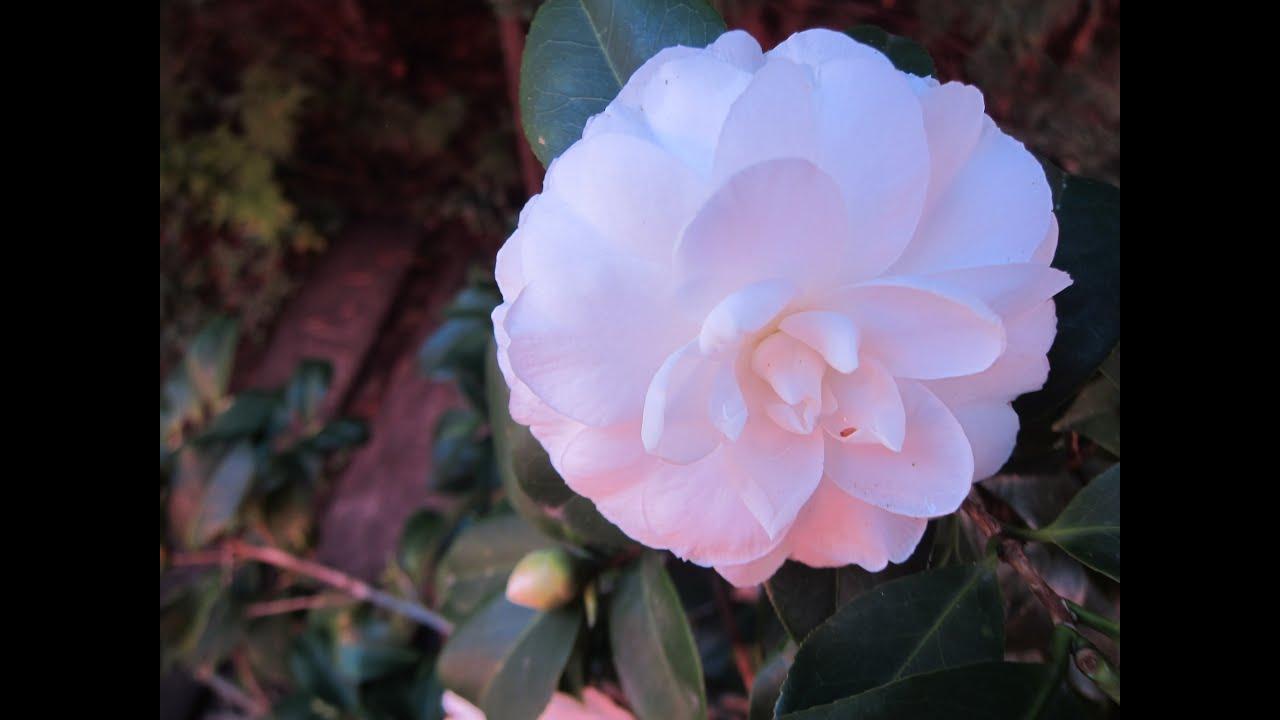 Flor de camelia blanca plantada en maceta tips para - Cuidados de la camelia japonica ...