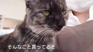 サビ猫うるるの甘えん坊タイム(〃ω〃)誰でも膝乗りOK  里親募集中!福島県いわき市