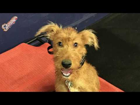 "5 Month Old Irish Terrier ""Barkley"" Before/After Video 