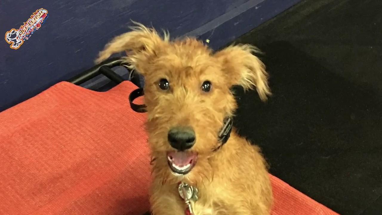 Irish Terrier For Sale Georgia 5 Month Old Irish Terr...