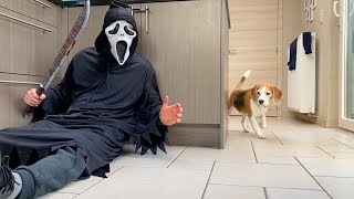 Dogs vs Ghostface Scream PRANK : Funny Beagle Dog Reactions
