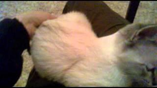 Продаю Тайского котёнка (Новосибирск), тел 8953*7673*128