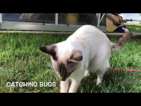 Balinese Cat Darci's activities in the backyard