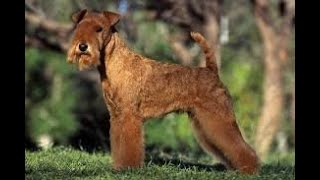 #156 LAKELAND TERRIER  | Which Dog Should I Get? Dog Breed Selector