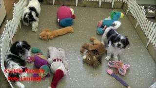 Little Rascals Uk Breeders New Litter Of Cavatzu