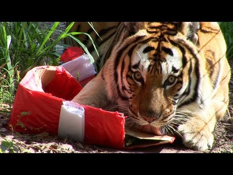Tigers Sing Jingle Bells! .... and destroy presents!