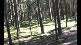 Сосновый лес 2005